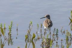 Sandpiper, Wood Sandpiper in Shallow Water Tringa glareola Wader Bird Sandpiper. Wildlife Birds stock photography