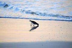 Sandpiper znajduje karmowego w?a?nie pod piaskiem wzd?u? Amelia wyspy linii brzegowej zdjęcia royalty free