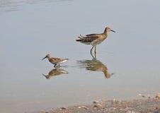 Sandpipers в болотое Стоковое Изображение RF