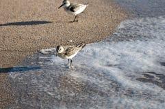 Sandpipers в прибое. Стоковое Фото