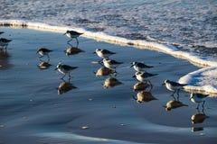 sandpipers Стоковые Фотографии RF