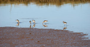 Sandpipers Royalty Free Stock Image