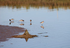 Sandpipers Royalty Free Stock Photos