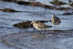 Sandpipers Stock Photography