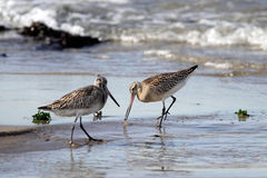 Sandpipers Stock Photo