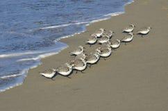 sandpipers Imagens de Stock