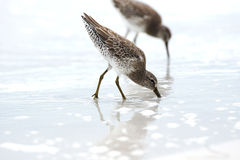 Sandpipers Stock Photos