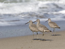 Sandpipers on the Beach. Three sandpipers, all facing the ocean, strolling on the beach stock photos