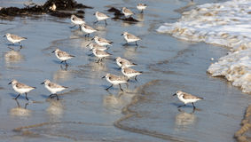 Sandpipers Biegać Obrazy Royalty Free