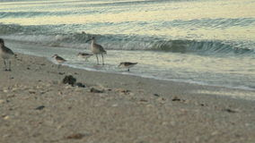 Sandpipers On Bonita Beach Florida stock footage