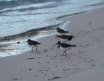 Sandpipers On Cuban Beach Stock Photography