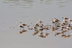 sandpipers curlew Стоковые Изображения