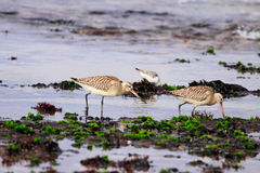 Sandpipers Stock Images