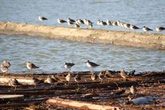 Sandpipers on Driftwood Royalty Free Stock Photography
