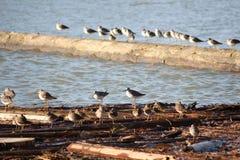 sandpipers driftwood Стоковая Фотография RF