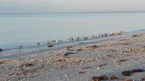Sandpipers feeding at dawn at Florida beach. Group of sandpipers feeding at dawn at the waters edge on a Florida beach Royalty Free Stock Photos