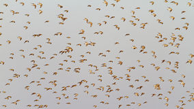 Sandpipers in flight on a background of gray sky Royalty Free Stock Photo