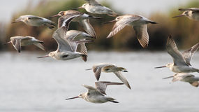 Sandpipers in flight Stock Image