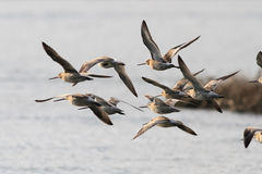 Sandpipers in flight Stock Photography