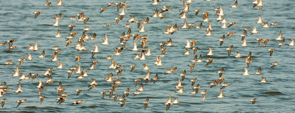 Sandpipers In Flight. Panoramic Composition of a Flock of Western Sandpipers and Dunlin Flying Over Water royalty free stock photo