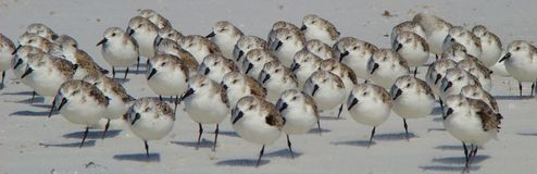 Sandpipers on a Florida beach royalty free stock photography