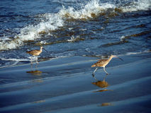 Sandpipers Frolicking on the Beach. At Morro Rock Beach in Morro Bay, California Stock Photo