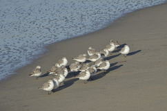 Sandpipers Royalty Free Stock Images