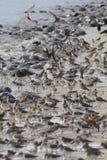Sandpipers i podkowa kraby na Delaware Wyrzucać na brzeg w locie obraz stock
