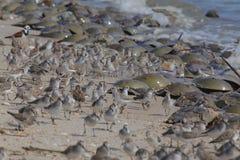 Sandpipers i podkowa kraby na Delaware Wyrzuca? na brzeg w locie zdjęcie stock