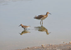 Sandpipers in the marsh Royalty Free Stock Image