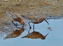 Sandpipers pair Stock Photo