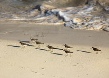 Sandpipers Parading in the Sand Along a Coastal Shoreline. Sandpiper birds walking in the sand of a coastal shoreline as ocean surf breaks nearby Royalty Free Stock Image