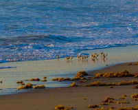 Sandpipers Playing in the Surf Royalty Free Stock Photo