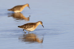 Sandpipers with reflection in water Royalty Free Stock Photo