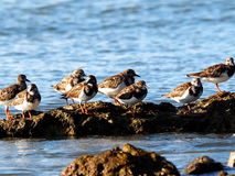 Sandpipers On Rocky Shore In Cuba Royalty Free Stock Photo