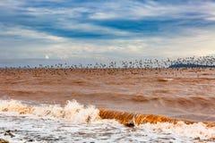 Sandpipers są z powrotem Dorchester, Nowy Brunswick, Kanada zdjęcia stock