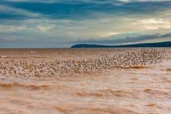 Sandpipers są z powrotem Dorchester, Nowy Brunswick, Kanada obraz stock