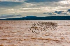 Sandpipers są z powrotem Dorchester, Nowy Brunswick, Kanada zdjęcie royalty free
