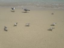 Sandpipers and Seagulls on South Beach, Miami. Royalty Free Stock Photos