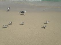 Sandpipers and Seagulls on South Beach, Miami. Royalty Free Stock Images