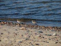 Sandpipers on Shoreline Royalty Free Stock Photos