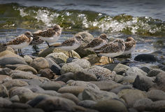 Sandpipers at the Shoreline Royalty Free Stock Images