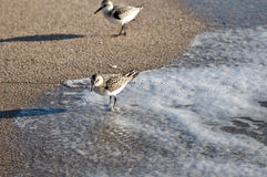Sandpipers in the surf. Stock Photo