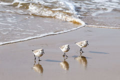 Sandpipers walking in unison on the Southern California beach. Royalty Free Stock Image