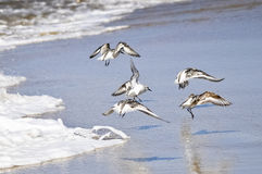 Sandpipers on the Wing Stock Photography