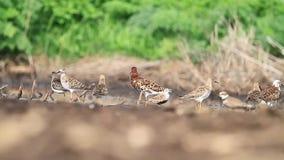 Sandpipers wygrzewają się w słońcu po lota zwolnionego tempa zbiory