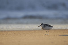Sandpipper en golven stock fotografie