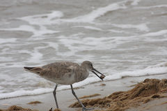 Sandpipper. Sandpiper photographed on Galveston Beach food hunting Royalty Free Stock Images