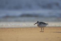 Sandpipper und Wellen Stockfotografie