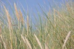 Sandrör på sjösidan Arkivbild